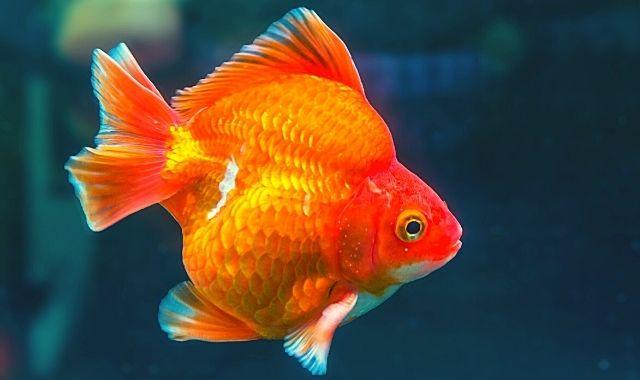 रयुकिन सुनहरीमछली - Ryukin Goldfish