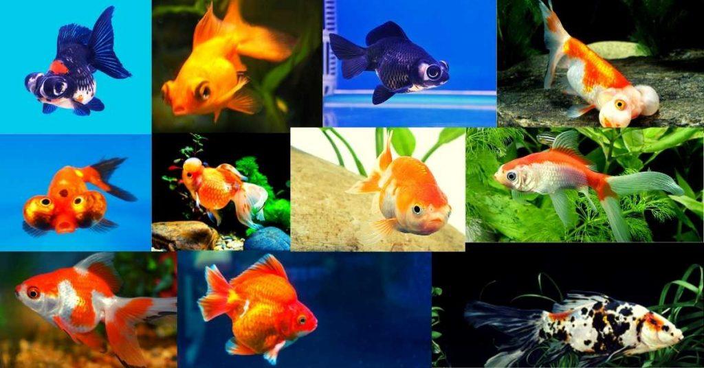 Goldfish ka Scientific Naam Kya hai जानें गोल्ड फिश का साइंटिफिक नाम क्या है